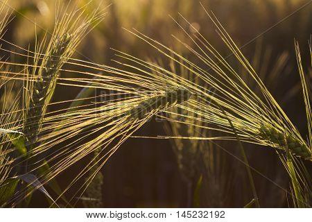 Autumn Cornfield Landscape Field Season Light Impression