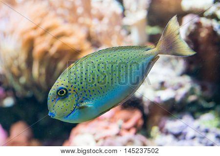 naso vlamingii - bignose unicornfish - saltwater fish