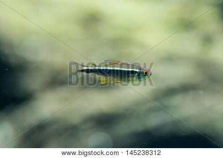 freshwater fish black neon tetra - Hyphessobrycon herbertaxelrodi