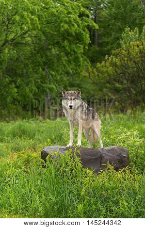 Grey Wolf (Canis lupus) Looks Out from Atop Rock - captive animal