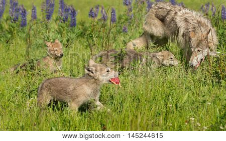 Grey Wolf (Canis lupus) Pup With Meat - captive animals