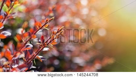 Nature website banner of red barberry bush leaves and buds