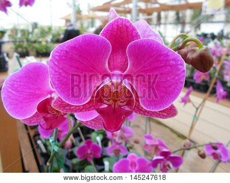 Moth Orchid Phalaenopsis in Hawaii in greenhouse