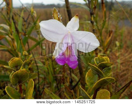 Wild orchid Arundina graminifolia on volcano in Hawaii