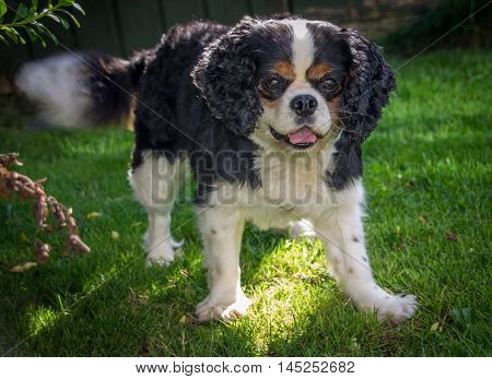 Female Cavalier King Charles Spaniel,playing in the garden, England