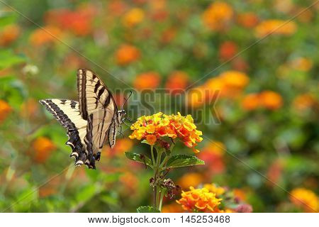 The Black Swallowtail butterfly also called the American Swallowtail or Parsnip Swallowtail. Drinking nectar from orange and yellow Lantana flowers side view