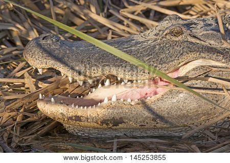 Open Mouth of an Alligator near Port Aransas Texas