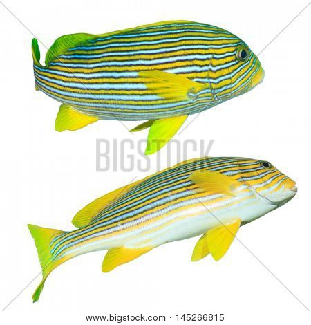 Tropical fish isolated: Ribbon Sweetlips white background