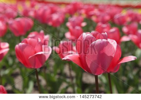 Beautiful tulips in the garden