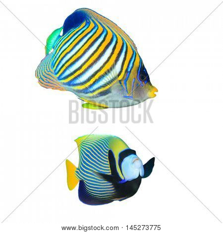 Tropical fish isolated: Regal and Emperor Angelfish on white background