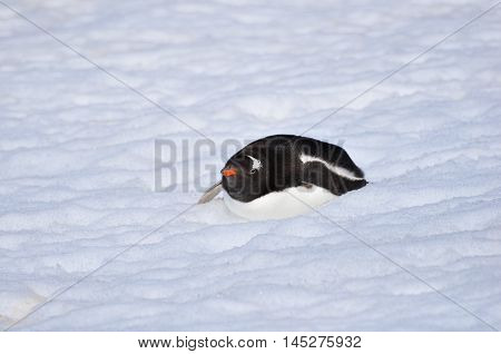 Gentoo penguin on the snow at Antarctica