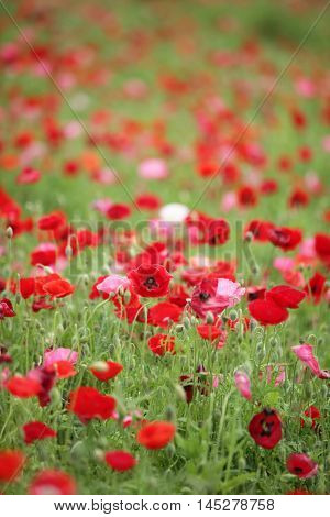 Beautiful poppy flower bed