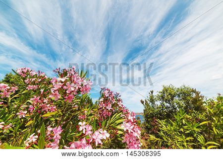 pink oleanders under a blue sky in Sardinia