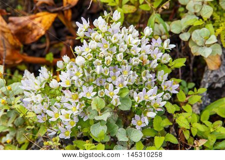 Rare flower of high mountain at Doi Luang Chiang Dao in Chiang Mai Province Thailand