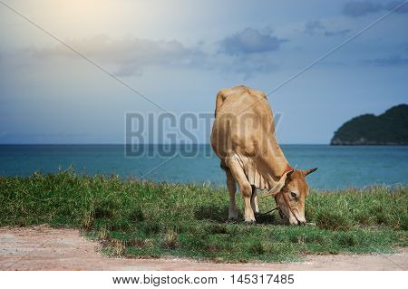 Cow Eating A Green Grass Near The Sea, Blurred Sea With Bluesky And Island Background, Light Effect