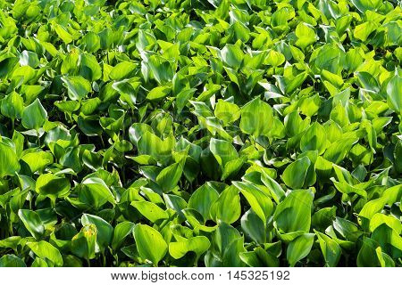Water hyacinth in the river, Weed in the river