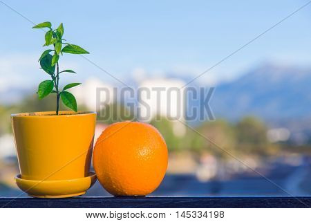 Almaty Kazakhstan - August 25 2016. An orange fruit and a little orange bonsai tree in a pot view from a balcony.