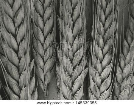 Wheat harvest on the field Wheat harvest field season summer autumn barley crops beans cereals collection bread growth nature flora plants benefit nutrition health product background wallpaper minimalism textures black white.