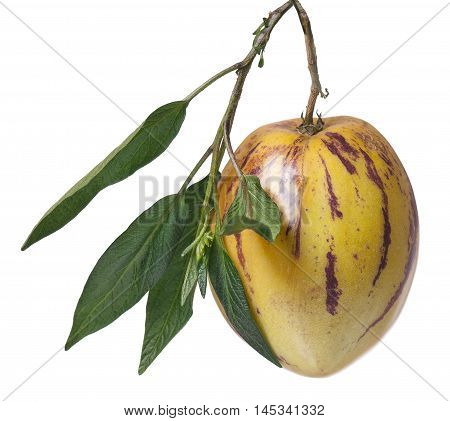 Whole single pepino fruit on a branch on white background