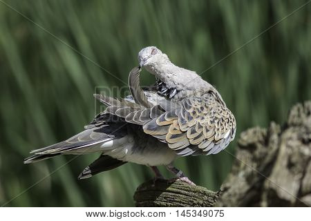 Beautiful sublime image of a bird preening its feathers. European turtle dove (Streptopelia turtur) holding a wing feather. The species of bird is now included on the Red List of conservation concern. It has been considered sacred and is a symbol of love