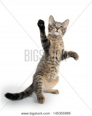 Cute Tabby Kitten On Hind Legs