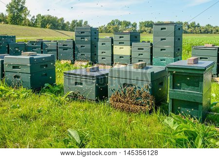 Green hives with bees in long rows on a Dutch field in the summer season. At one hive a large swarm of bees is landed.