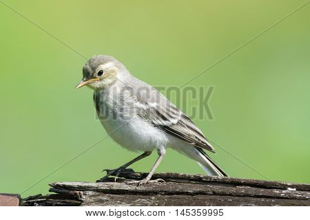The photo depicts the wagtail on a log