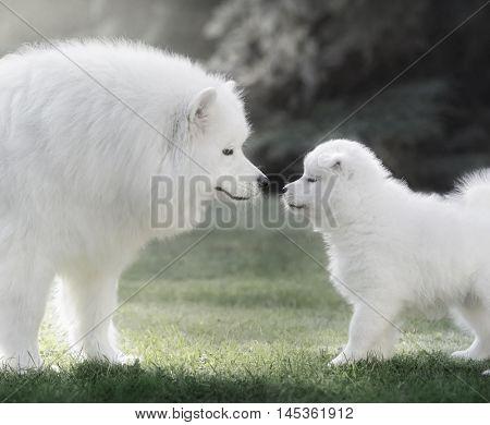 Samoyed dog with puppy. Backlit Photography.