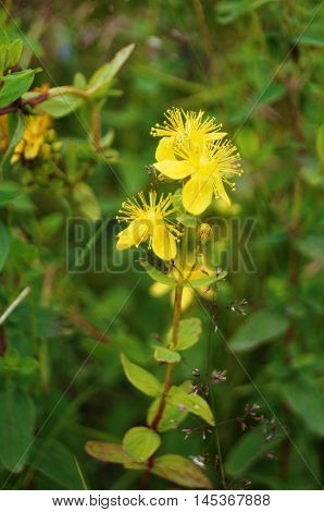 Field St. John's wort plant with yellow flowers on a background of green grass