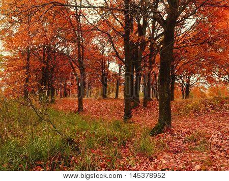 Autumn forest with fallen autumn oak leaves. Autumn colored landscape - oak forest in autumn cloudy day. Picturesque autumn landscape view of yellowed autumn oak forest -view of autumn nature.