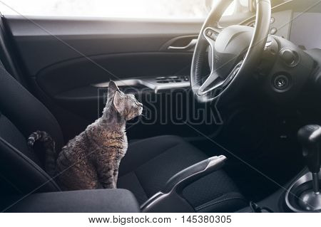 Beautiful Devon Rex cat is sitting in a car seat. Cat is feeling comfortable and relaxed. Train your cat to travel together. Reducing Cat Stress during Car Rides. Cat is inside a car