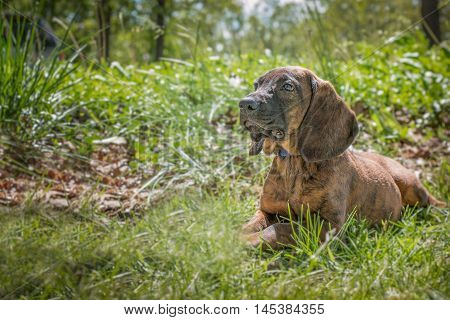 Hanoverian scent hound puppy portrait in outdoor setting