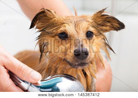 a shetland sheepdog under a fresh shower