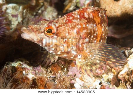 Painted Greenling Fish