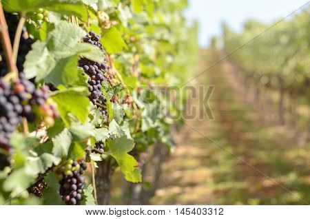Ripening Red Grapes In A Vineyard With Copy Space