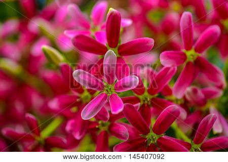 Pink Rangoon creeper Blooming in the nature
