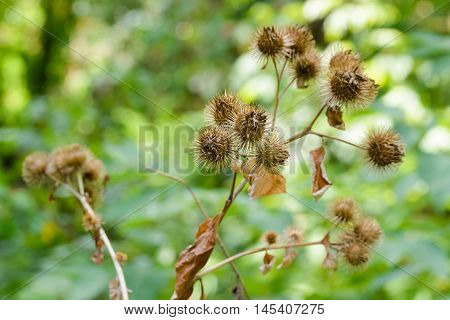 Arctium Lappa With Fruit