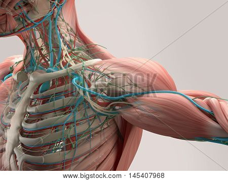 Human anatomy detail of shoulder. Bone structure, arteries. On plain studio background. Augmented Reality, AR. 3d illustration. Transparent layers, xray.