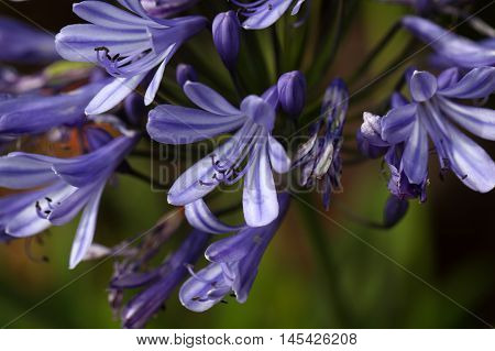 Flower of a lily of the Nile (Agapanthus sp.)