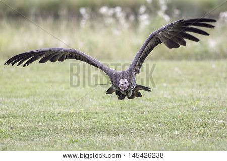Hooded vulture - necrosyrtes monachus - in flight close to the ground