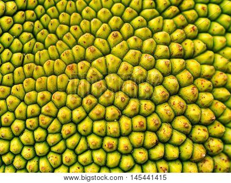 Closeup macro of jackfruit peel texture a small button consecutive yellowish green of young jackfruit Tropical fruit.