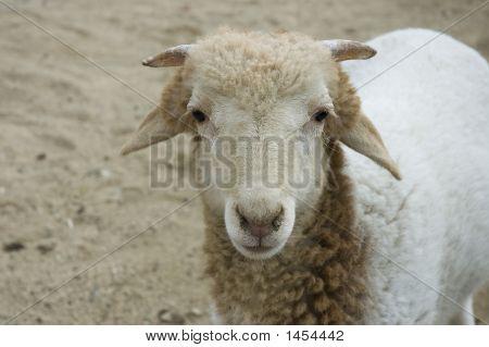 Sheep Looking At Me