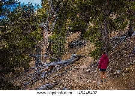 Hiker Tourist on Methuselah Trail Bristlecone Pine forest State Park California