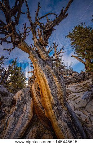Ancient Bristle Cone Pinte Great Basin