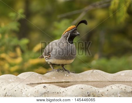 A beautiful male Gambel's Quail sits on the edge of a birdbath in the arid Arizona climate drinking its fill of water.