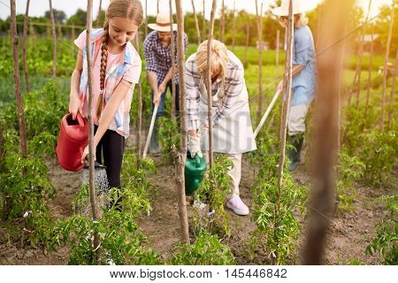 Diligent rural family watering seedlings of tomatoes