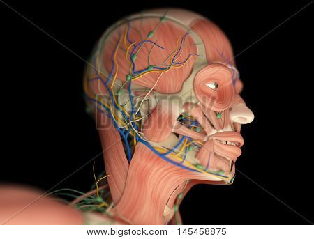 Human muscular vascular, lymphatic and nervous system. Head, skull, anatomy. 3D illustration.