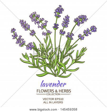illustration with lavender flowers on white background