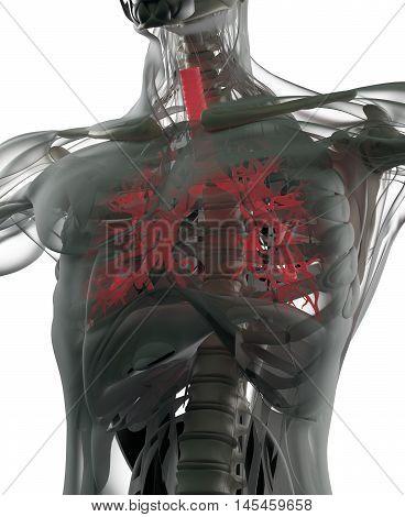 Bronchi, human anatomy lungs, futuristic scan technology.3d illustration.