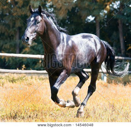 Black horse galloping